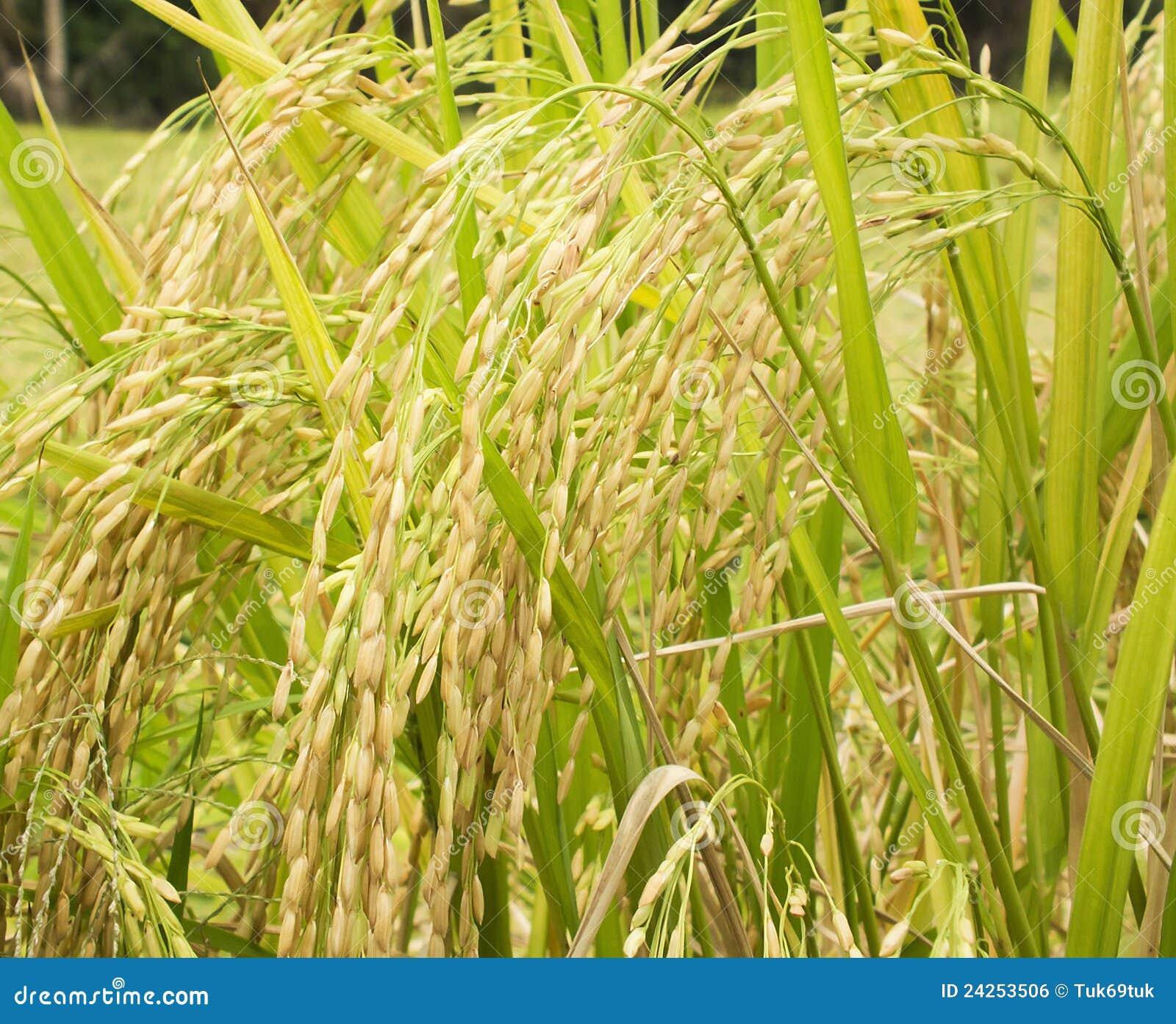 Rice Plant R... Harvest Technology