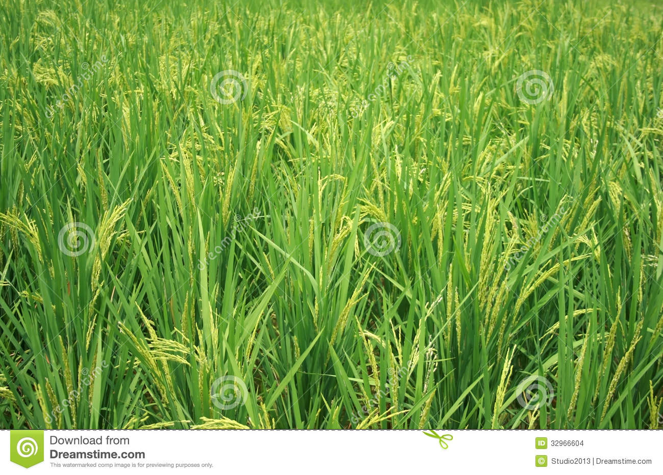 Stock Images  The rice plantImages Of Rice Plant
