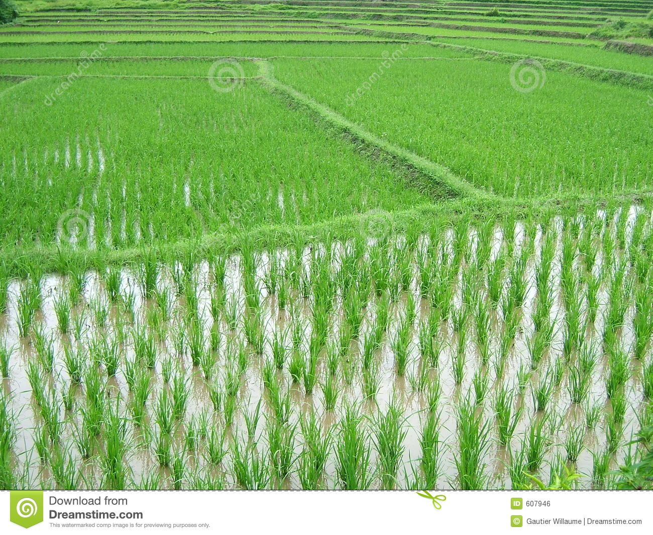 Rice Plantation Royalty Free Stock Image - Image: 607946