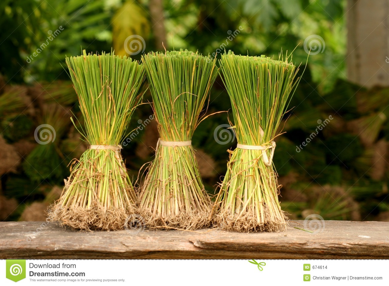 Rice Plants in front of rice plant stock Images Of Rice Plant