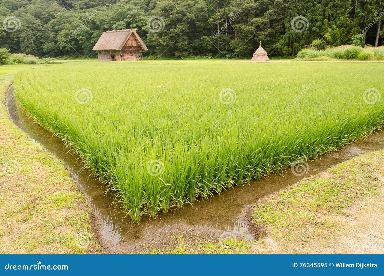 Rice pole z tradycyjnym domem