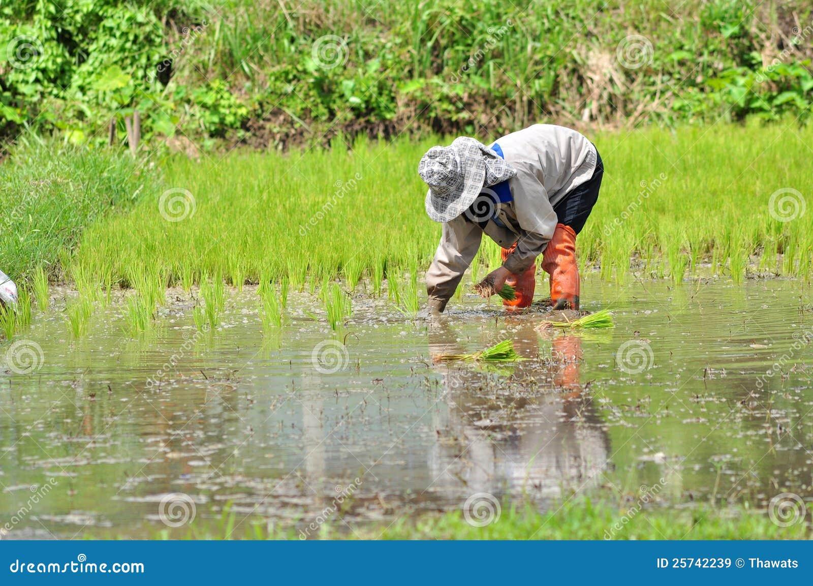 Rice seedling transplanting.