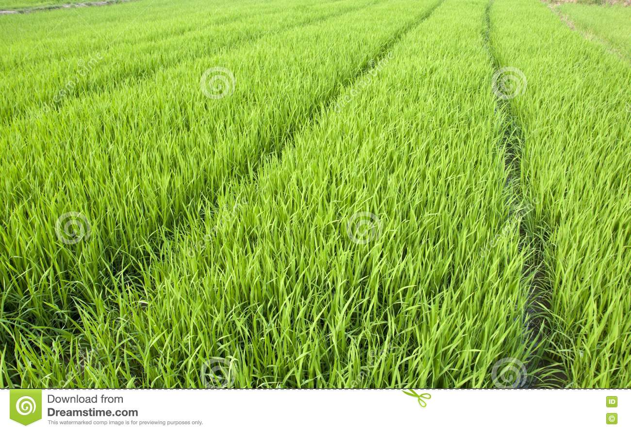 Rice farming business plan in philippines