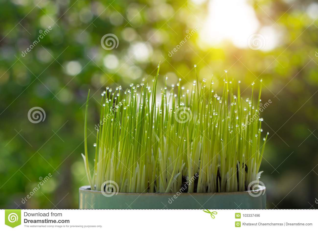 Rice sprout growing from seed growing. Green concept environment