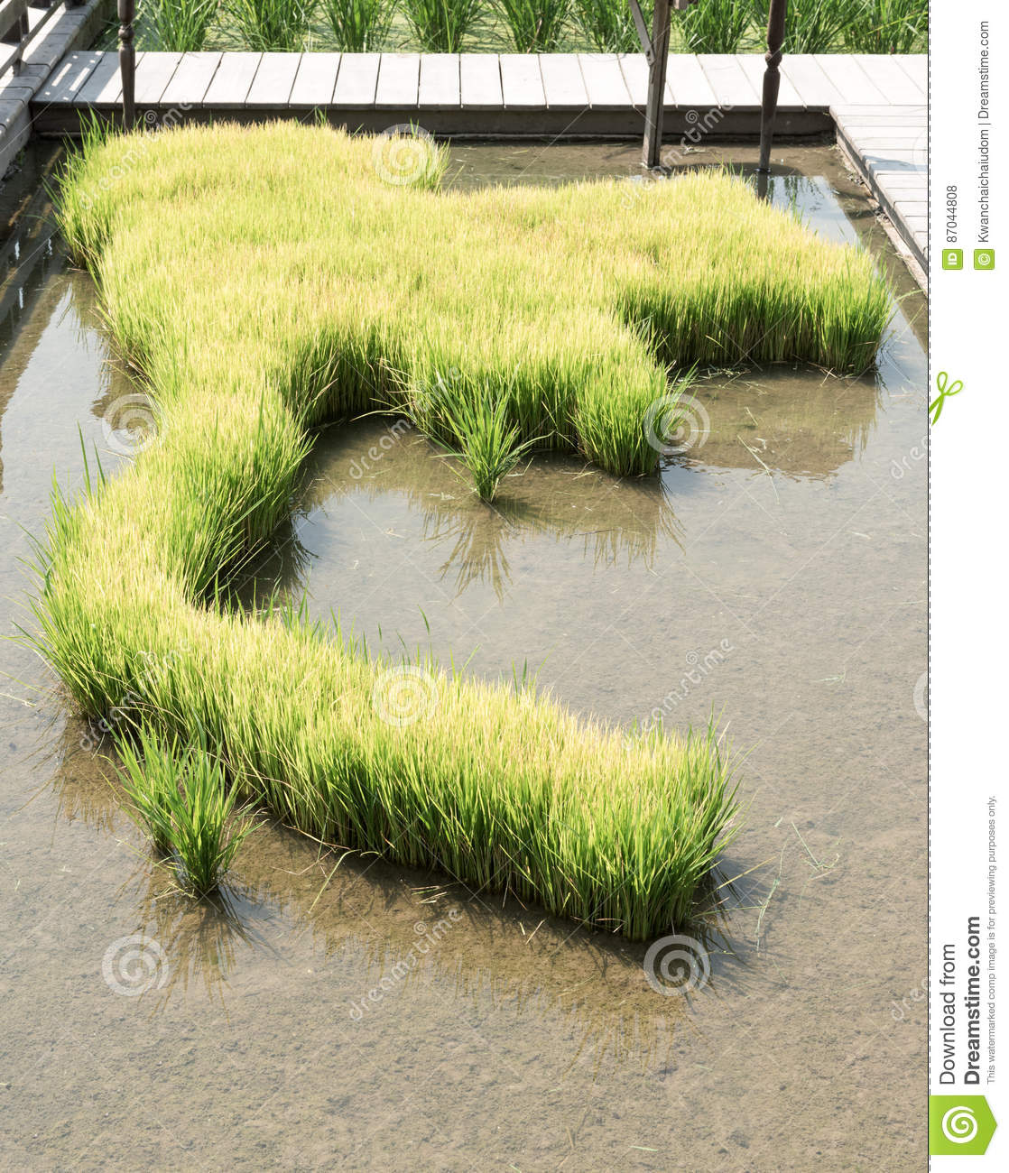 Rice sprouts planting on Thailand map