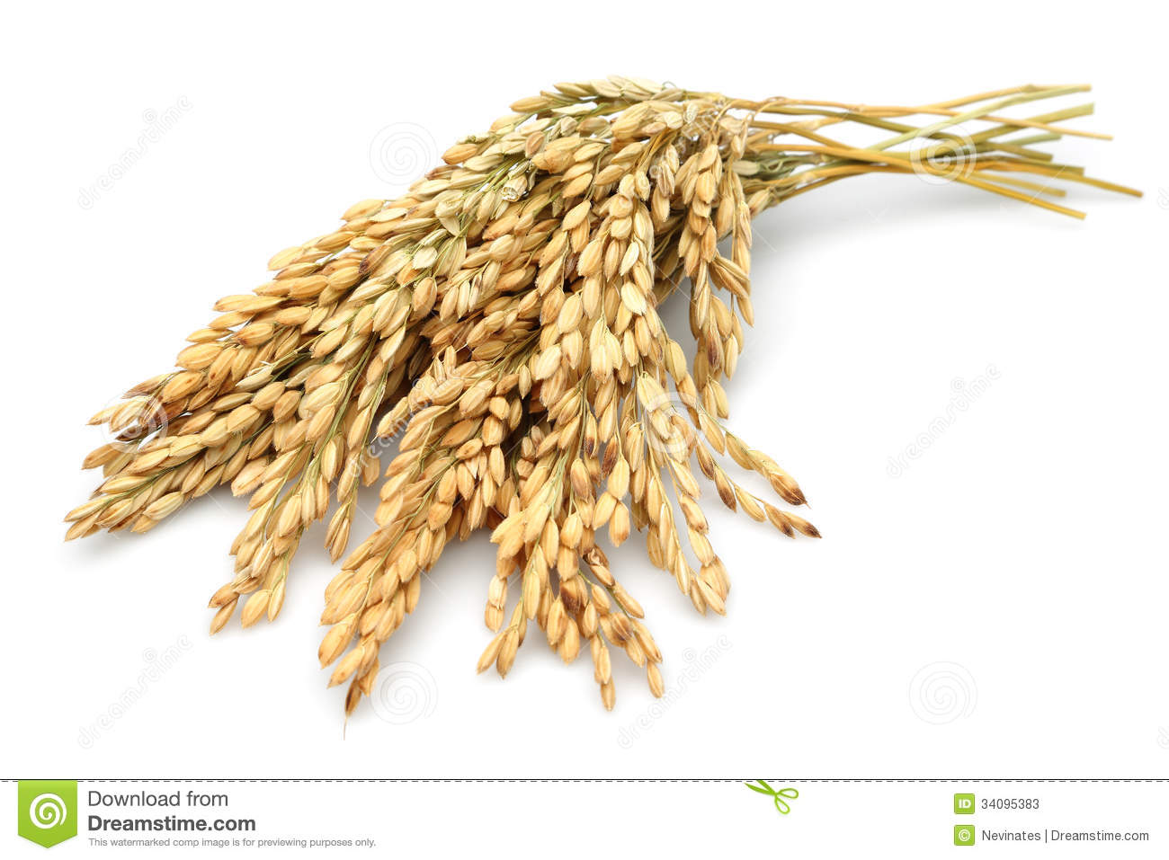 rice stalks stock images download 759 royalty free photos