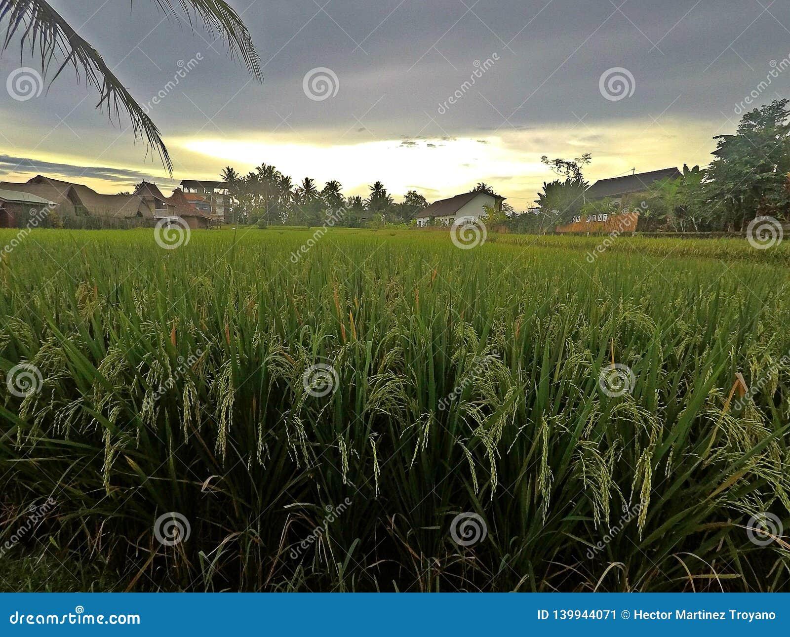Rice taras w Ubud w Bali, Indonezja