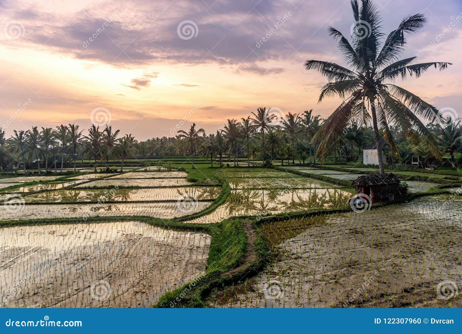Rice tarasuje w Tegallalang, Ubud, Bali, Indonezja uprawa, gospodarstwo rolne,