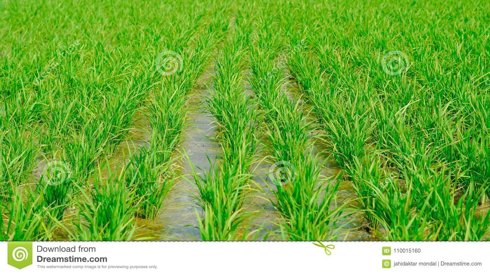 Rice uprawia ziemię w porze deszczowa India zieleń, makro- tryb