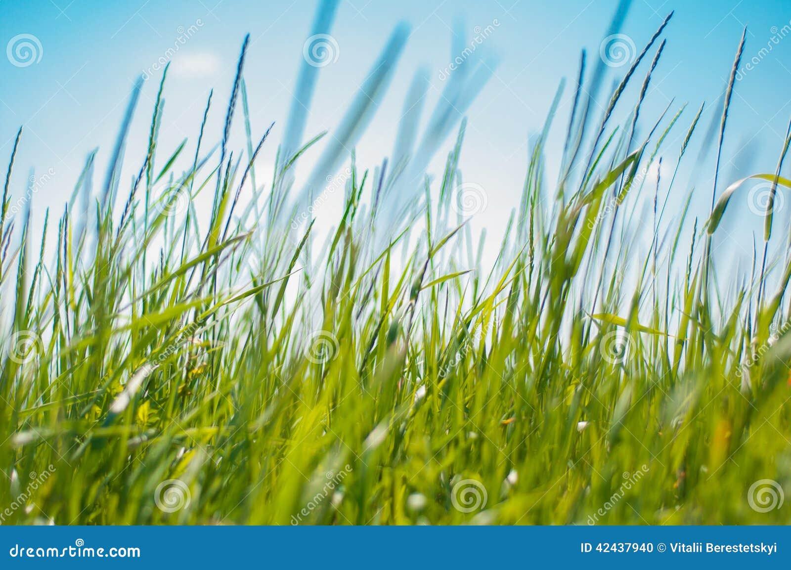 Rich Grass verde grueso en el campo de la mañana