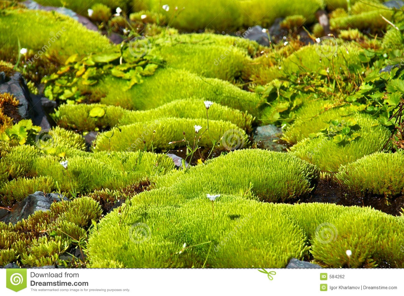 Rich Green Moss And Small White Flowers Stock Photo Image Of