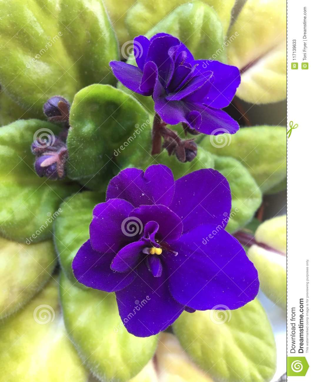 Rich purple flowers of an african violet stock image image of rich purple flowers of an african violet mightylinksfo