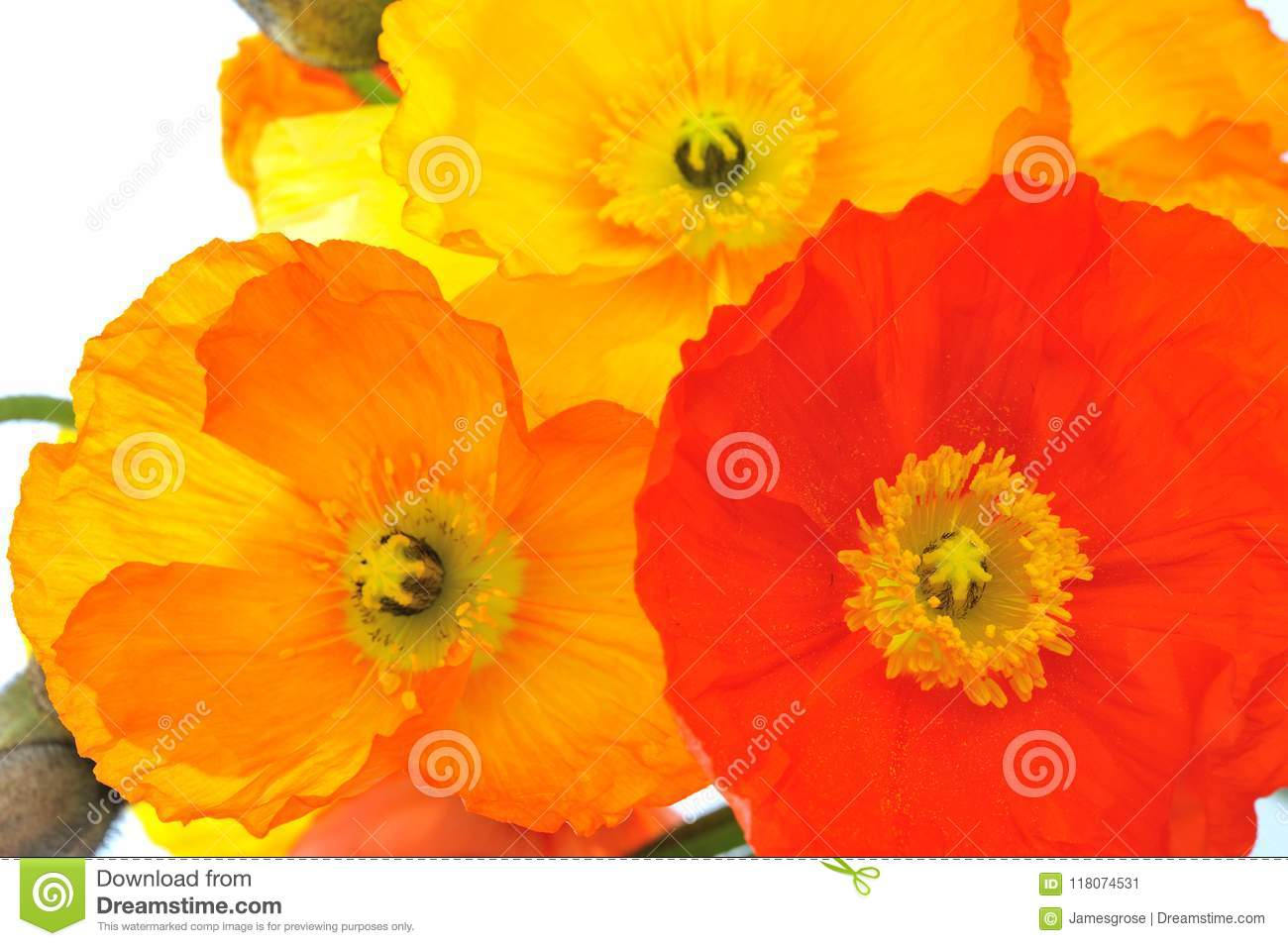 Red Orange And Yellow Poppy Flowers Stock Image Image Of Pistil