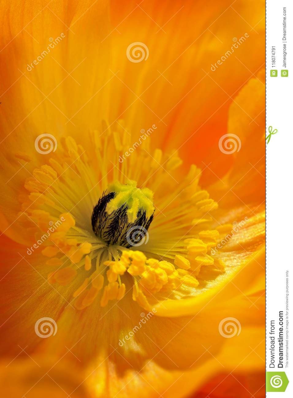 Poppy Flower In Full Bloom Stock Image Image Of Acknowledged