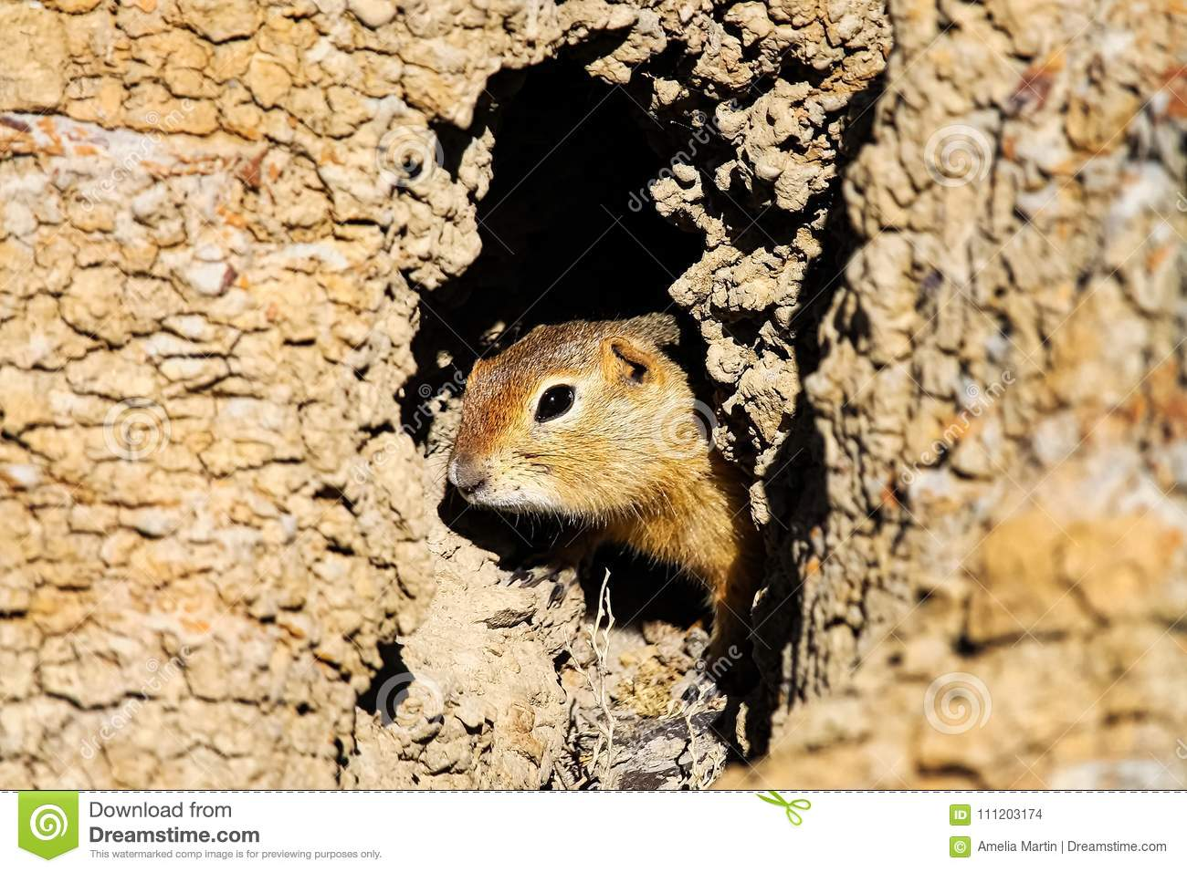 A Richardsons Ground Squirrel looks out of its hole