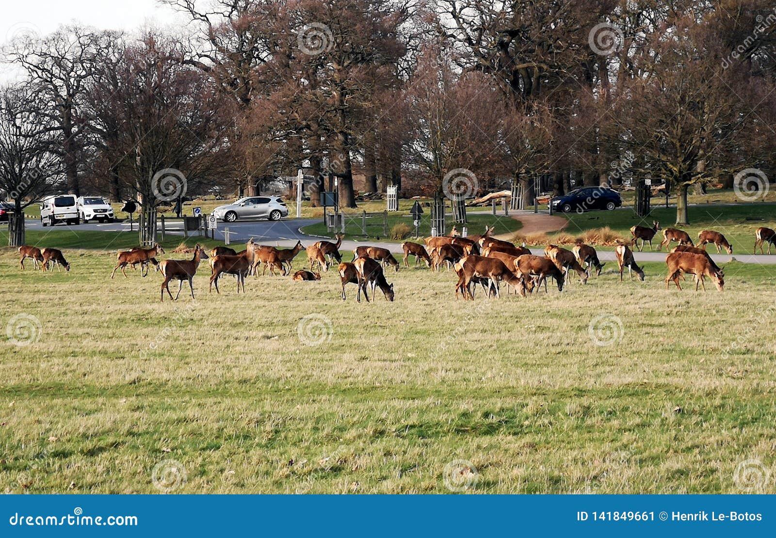 Richmond Park Deer-het waarnemen