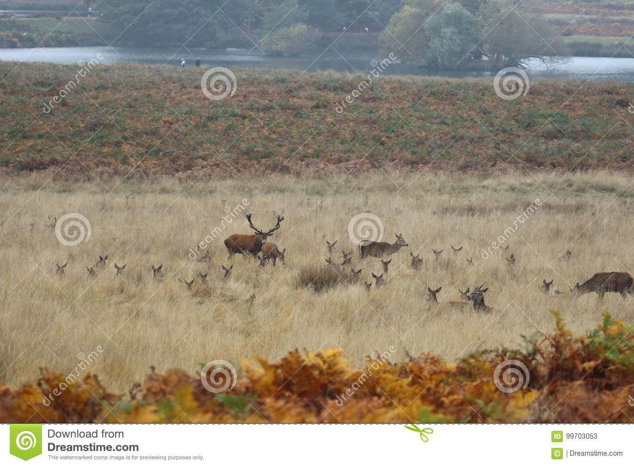 Richmond Park Stags and Deer`s Ears