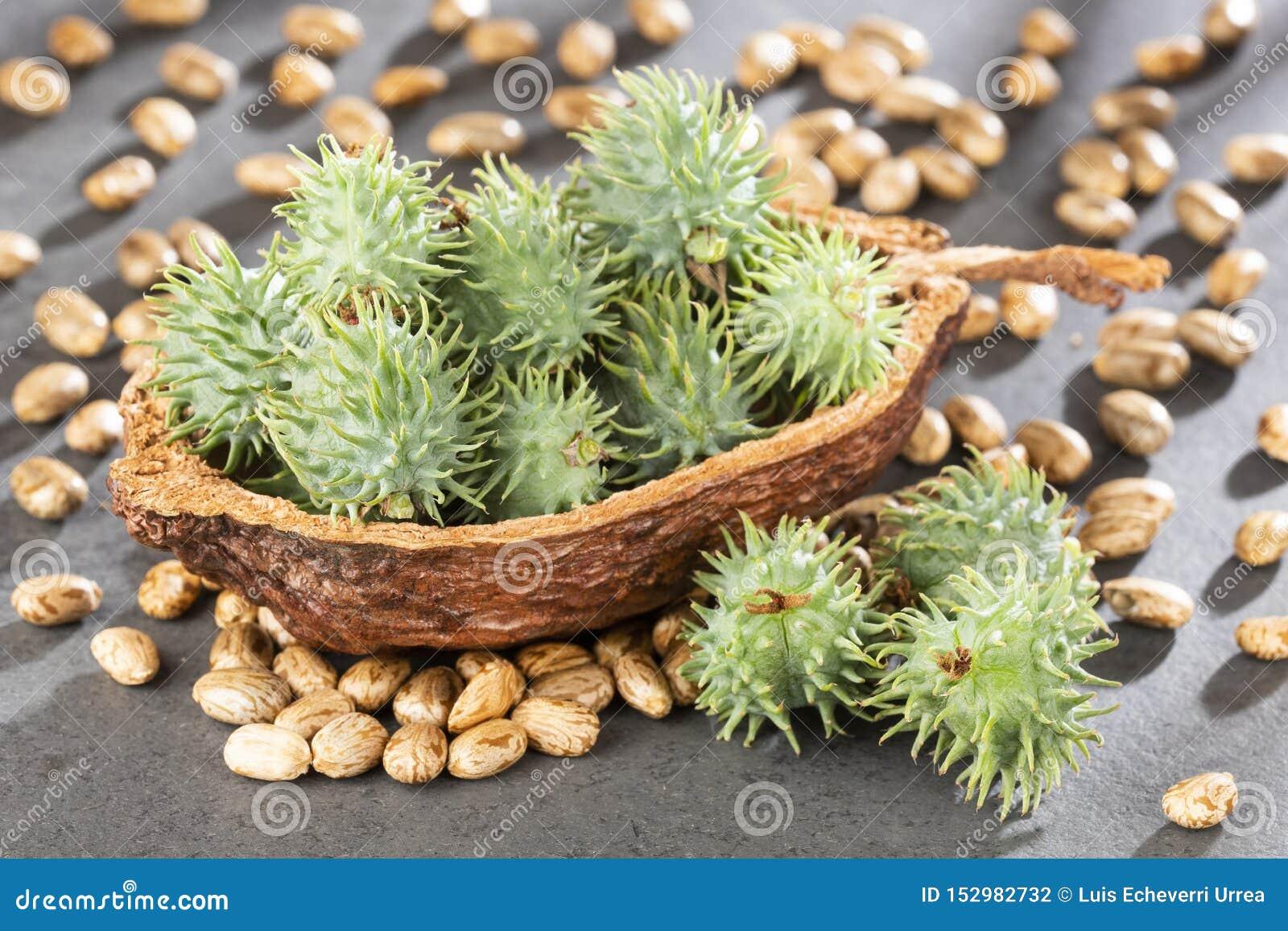 Ricinus communis - Green castor seeds. Text space