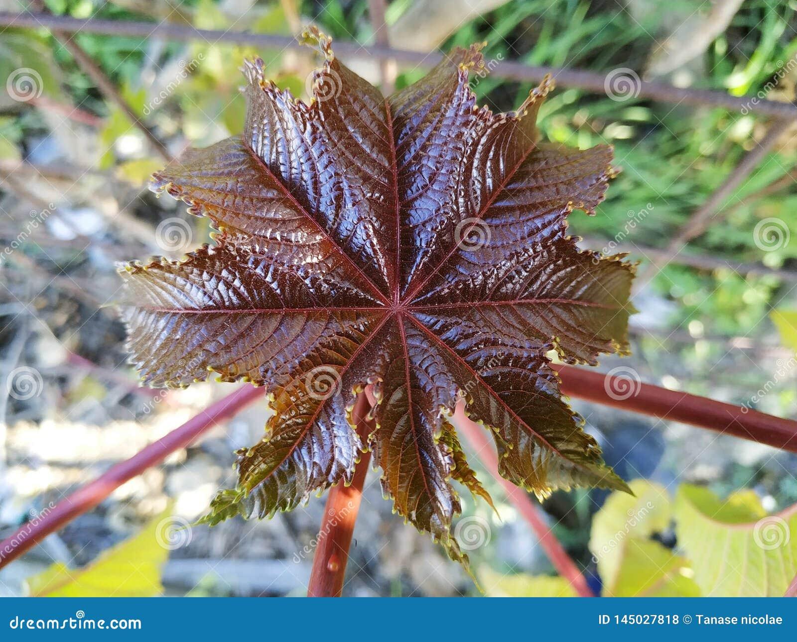 Ricinus jadowitej rośliny communis purpurowy liść w Cartaya prowincji Huelva Hiszpania