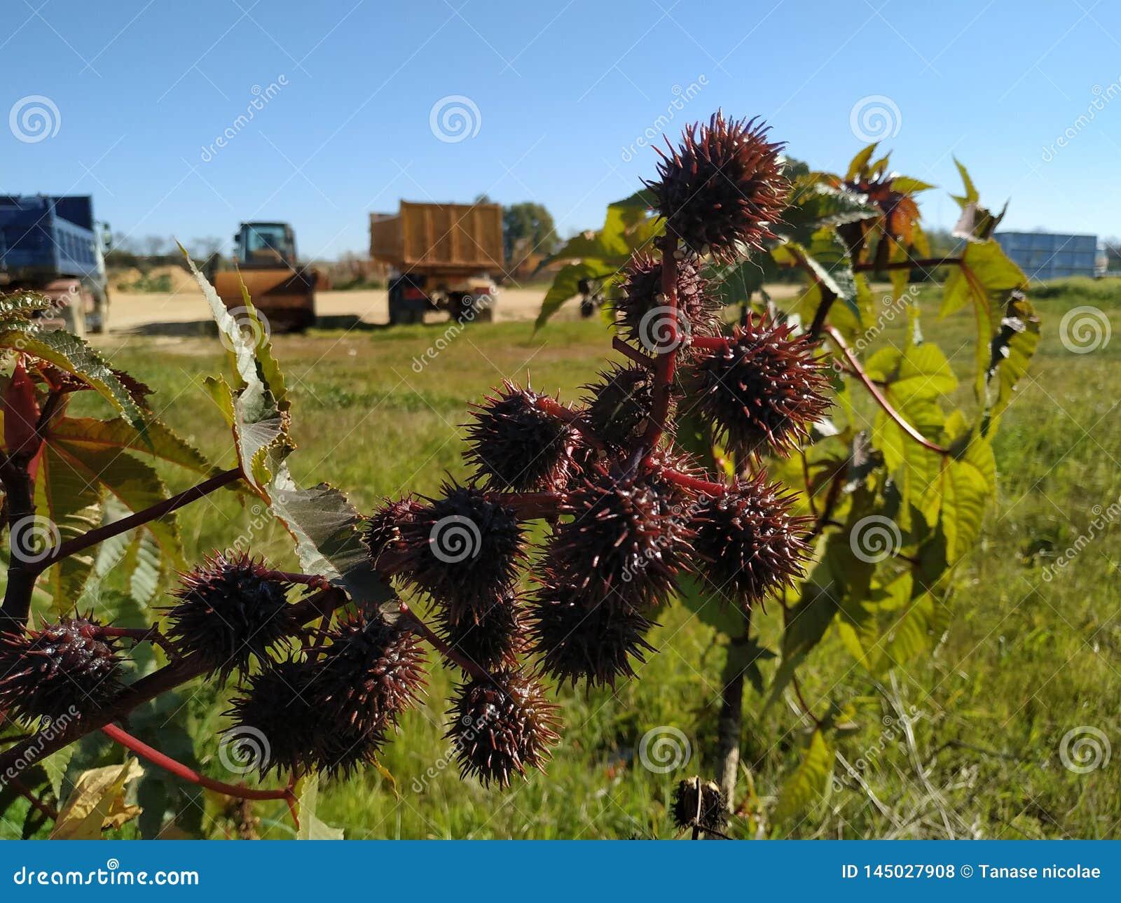Ricinus owoc communis jadowitego liścia purpurowy liść w Cartaya prowincji Huelva Hiszpania