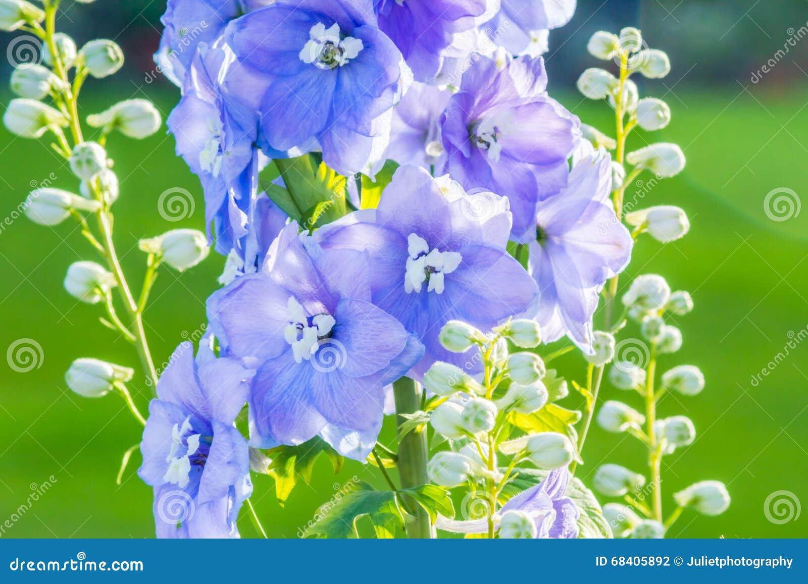 Riddarsporre  efter midnatt  som är nära upp av överflödande blåa blommor på en enkel stam