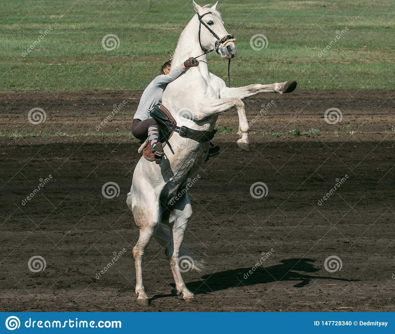 Rider On White Horse Stands On Its Hind Legs Horse Reared Stock Photo Image Of Background Animal 147728340