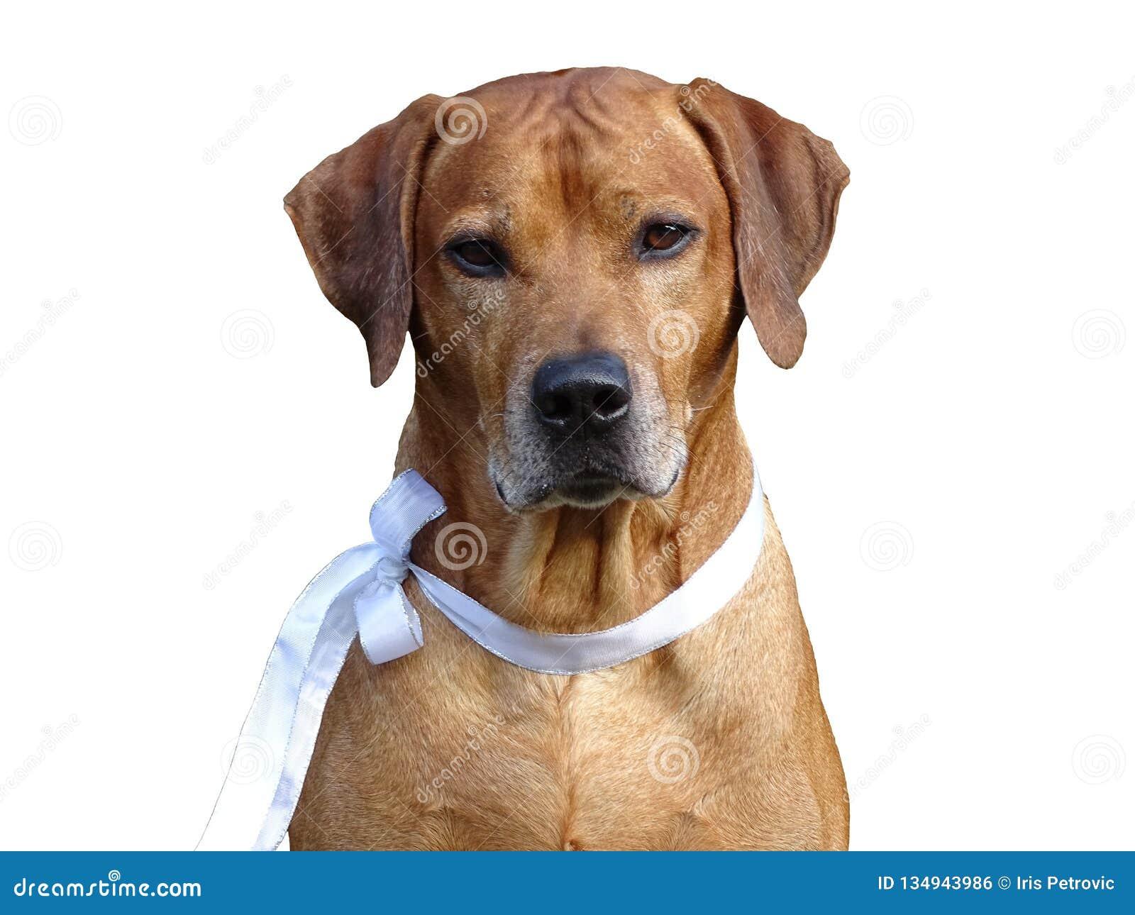 Ridgeback Rhodesian собаки и белая лента