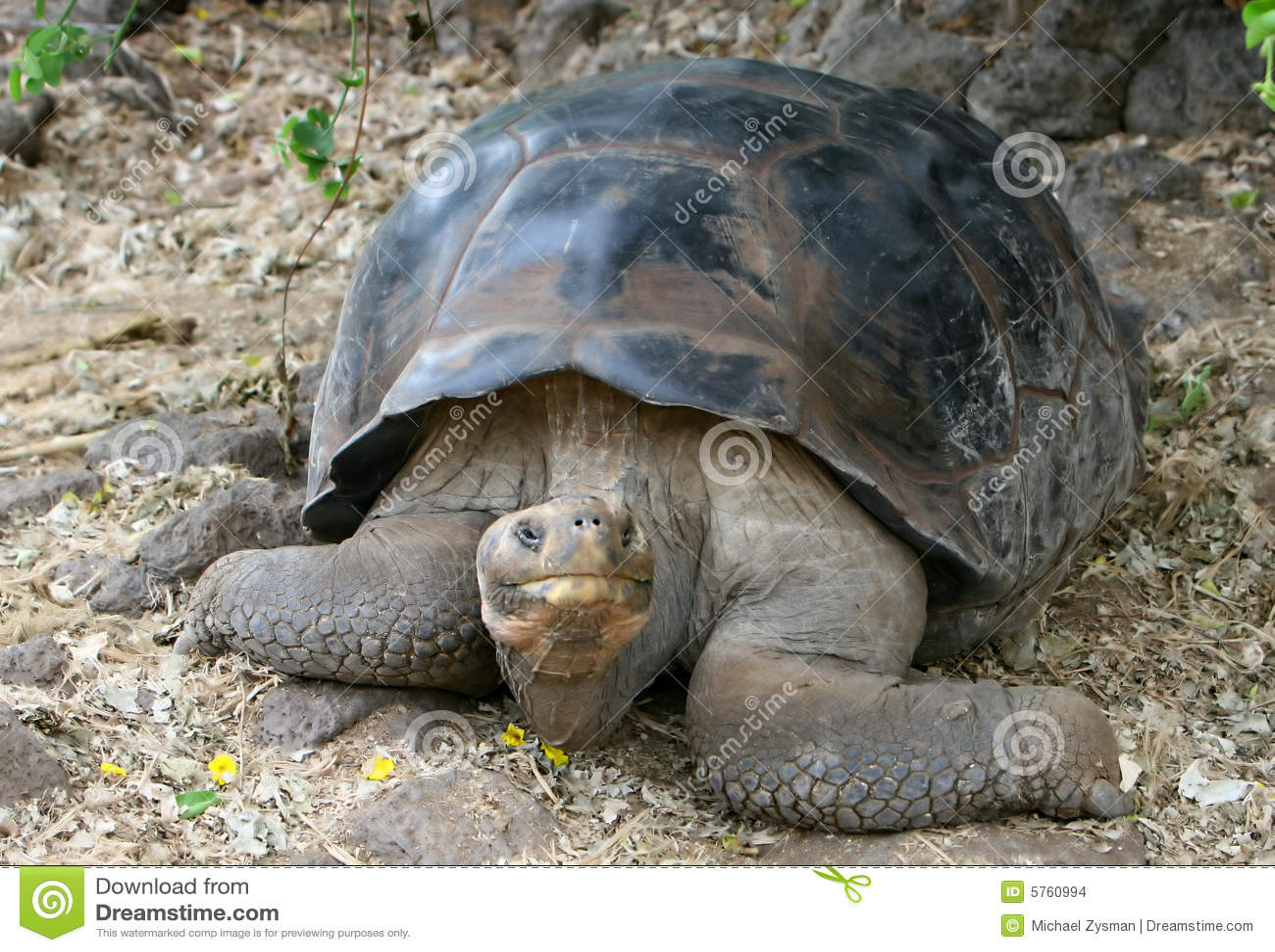 Riesige Galapagos-Schildkröte