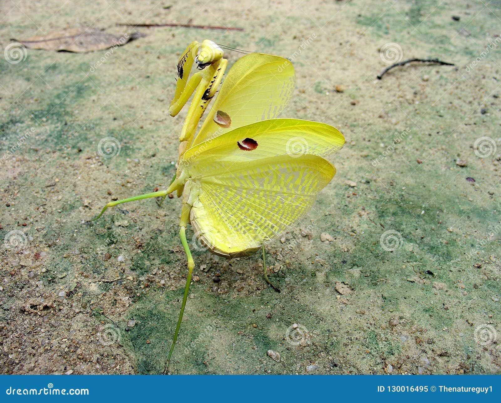 Riesige gelbe Amazoninian-Gottesanbeterin in der vollen defensiven Position Unikatfoto