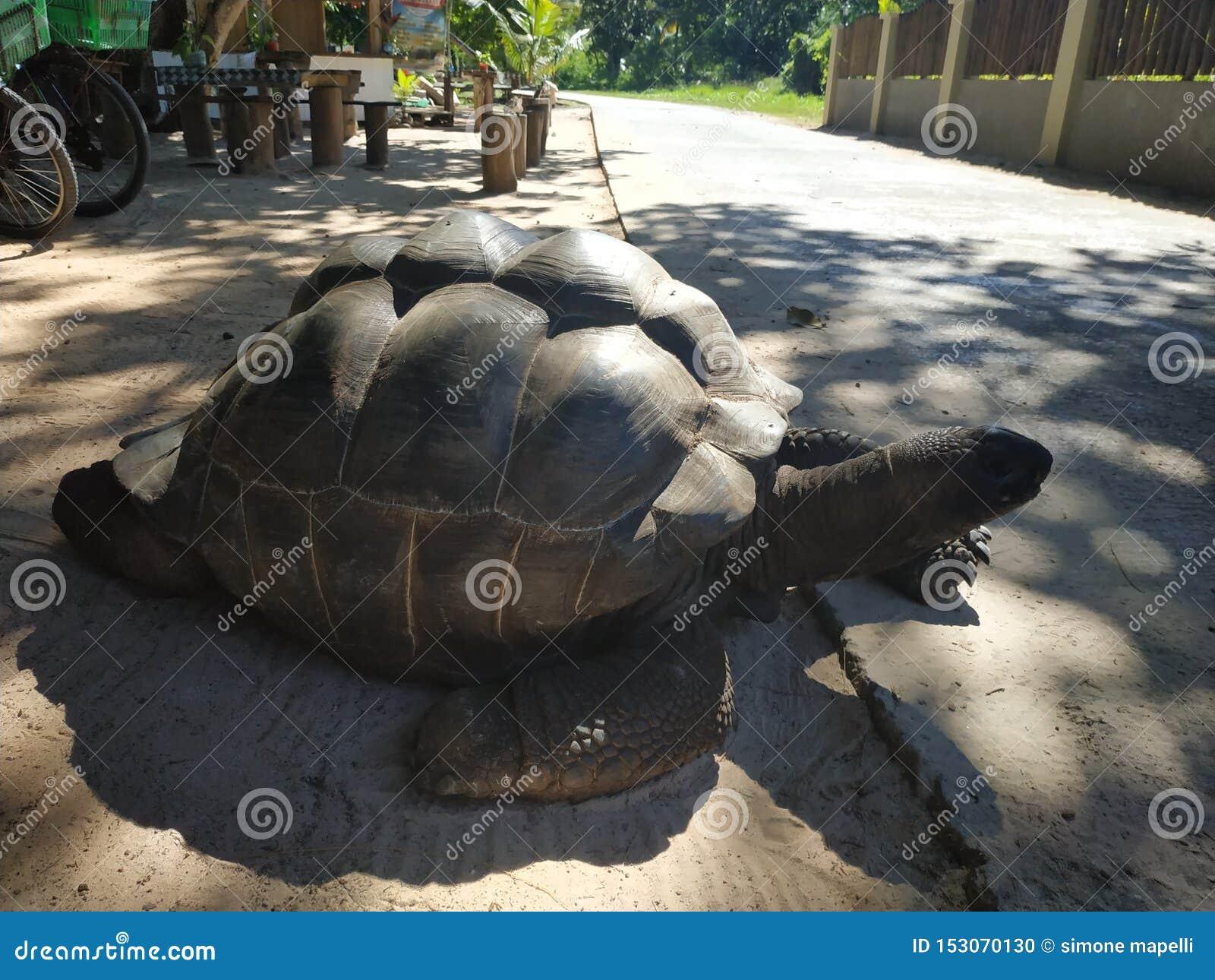 Riesige Schildkröte bei Ladigue Seychellen