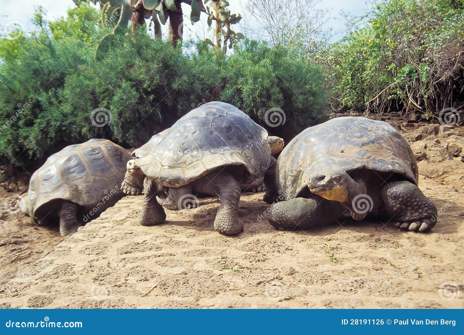Riesige Schildkröte, Galapagos-Inseln, Ecuador