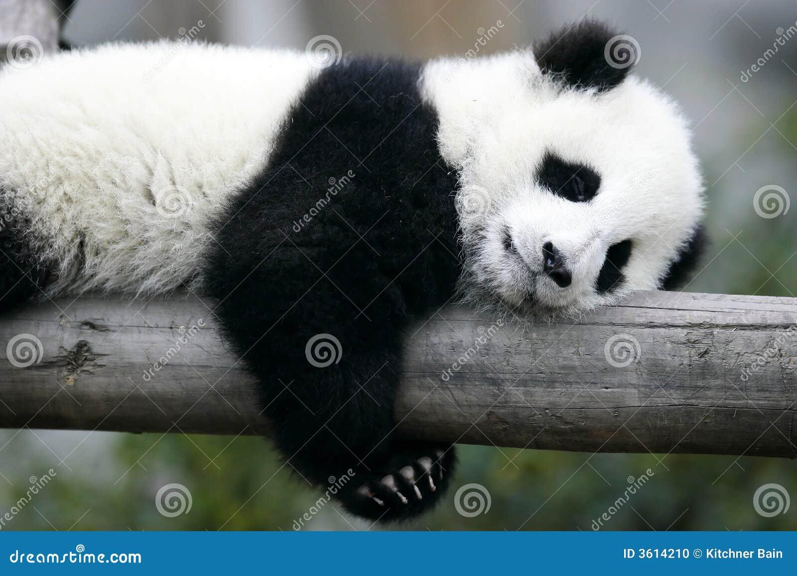 Riesiger Panda Cub