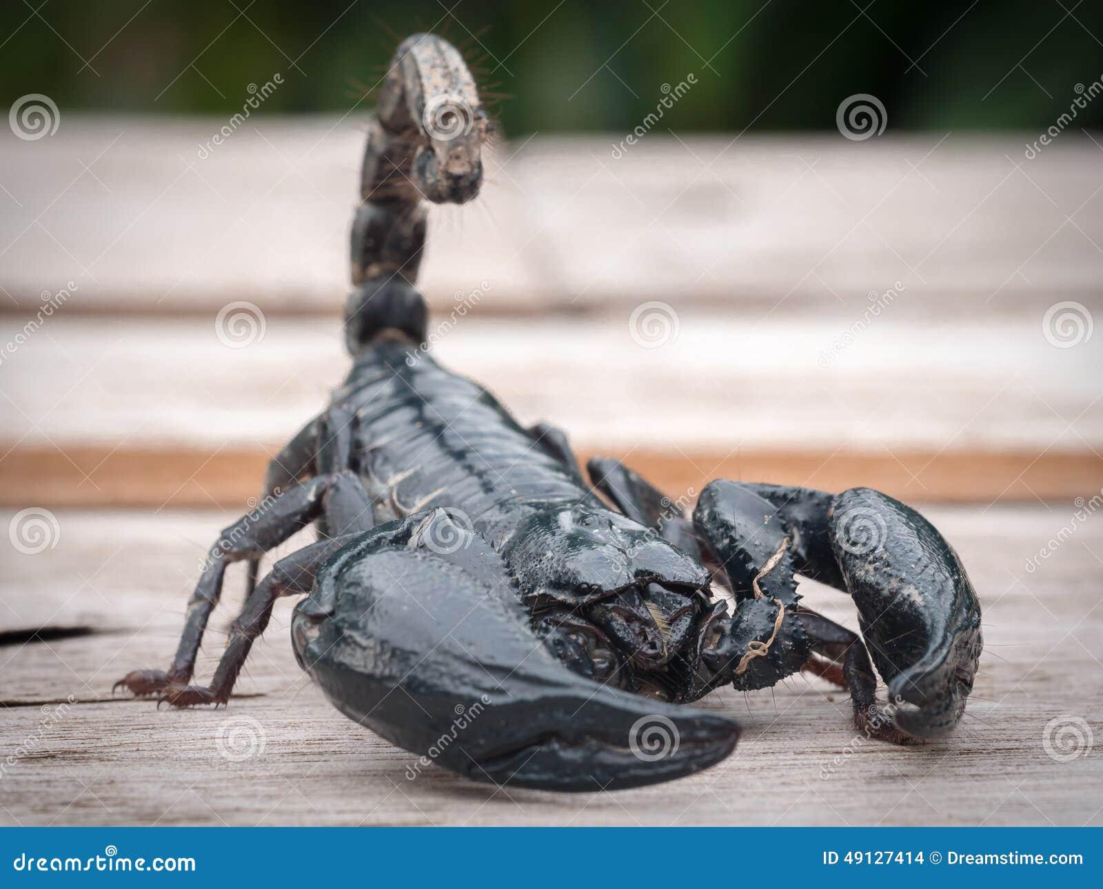 Skorpion steigt aus