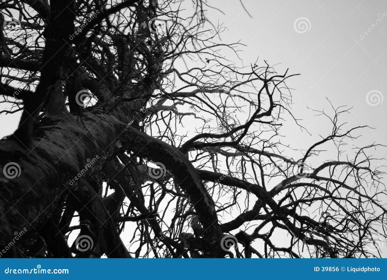 Riesiger steifer Baum in Schwarzweiss