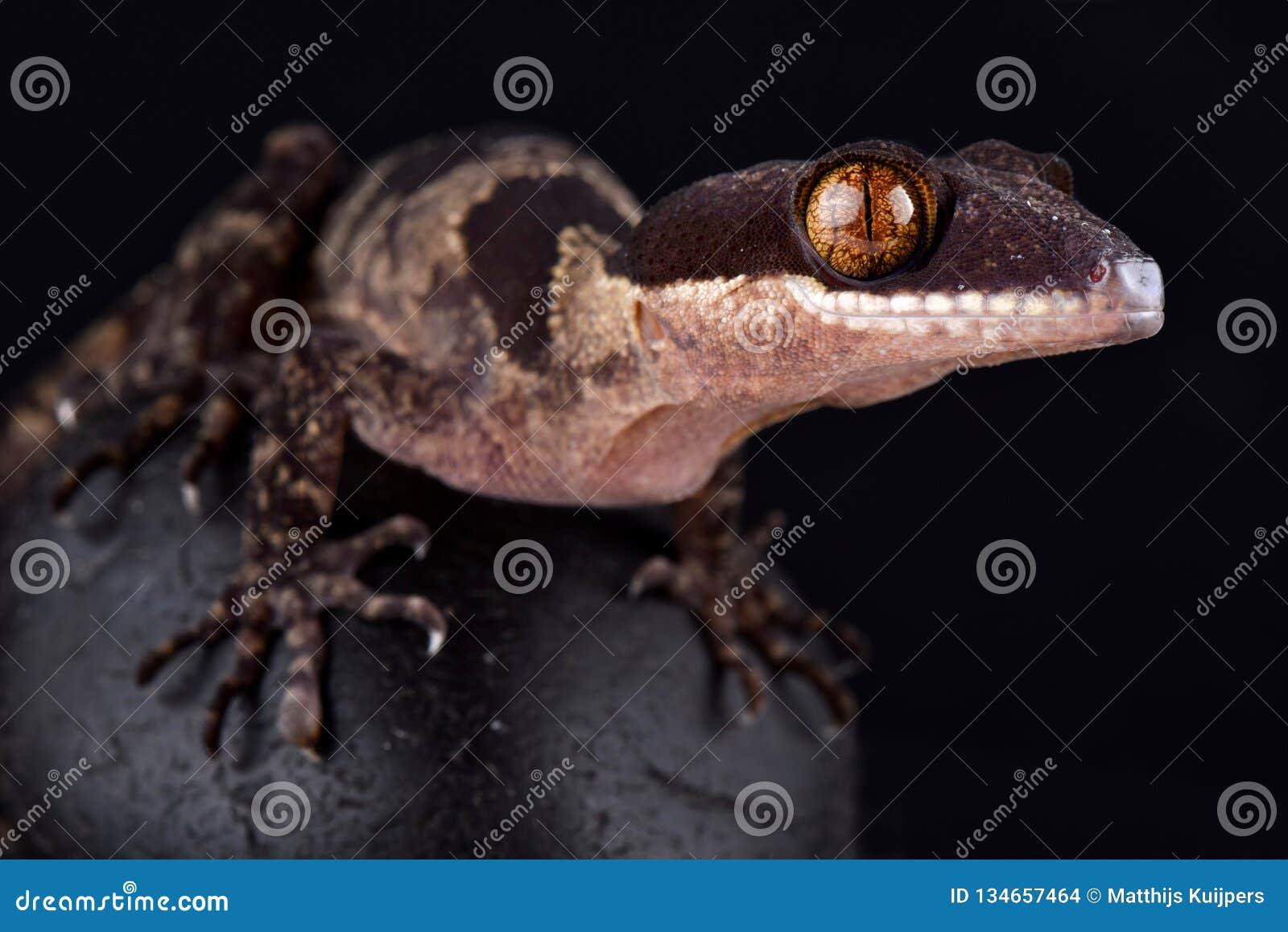 Riesiges mit einem Band versehener Gecko Papuas Cyrtodactylus-louisiadensis