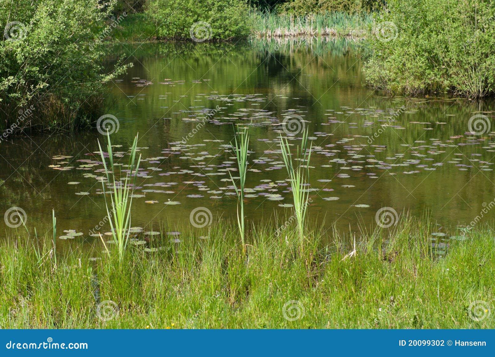 Riet in een vijver stock foto afbeelding bestaande uit for Een vijver