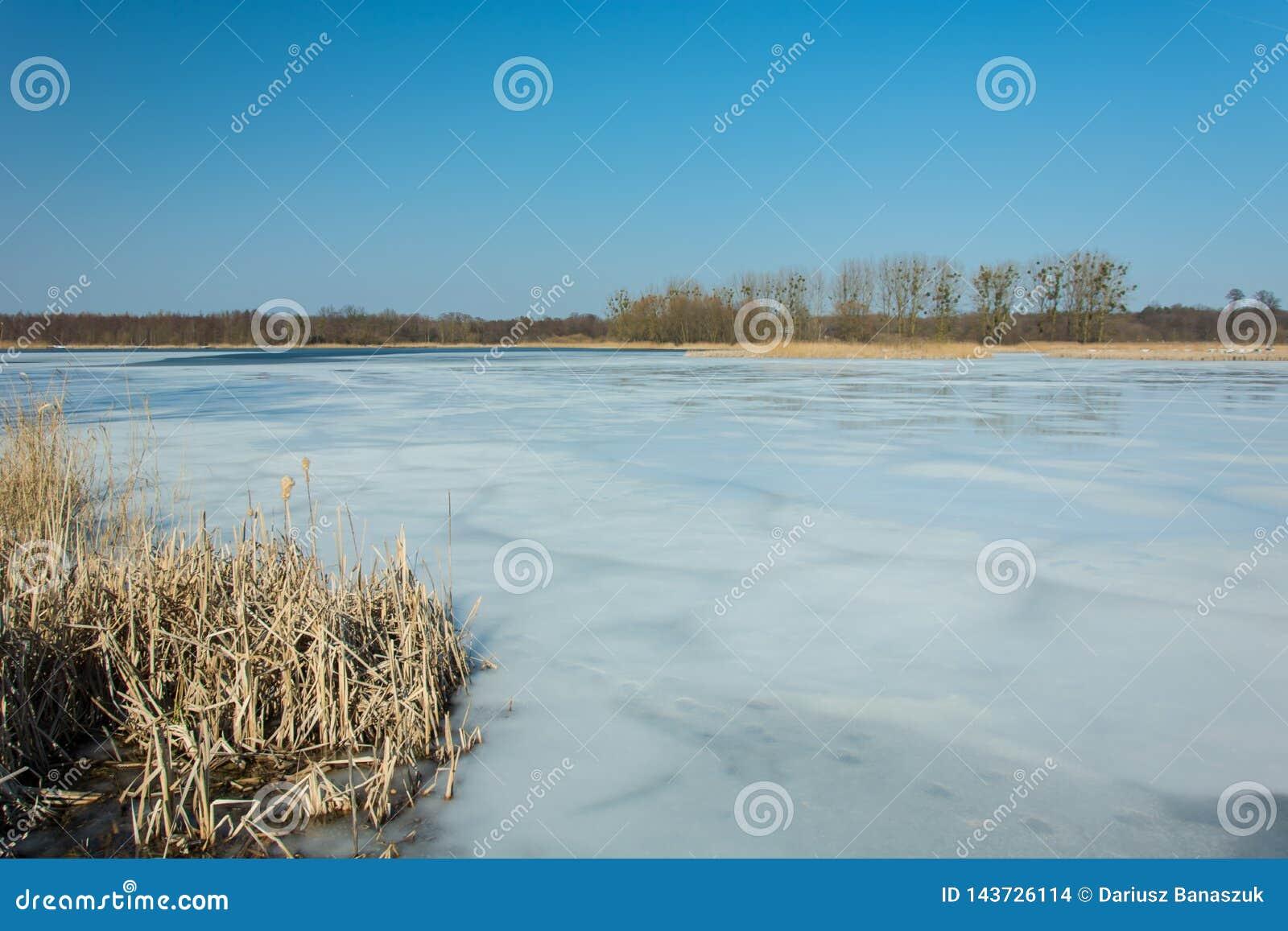 Riet en sneeuw op de kust van een bevroren meer Bomen op de horizon en de blauwe hemel
