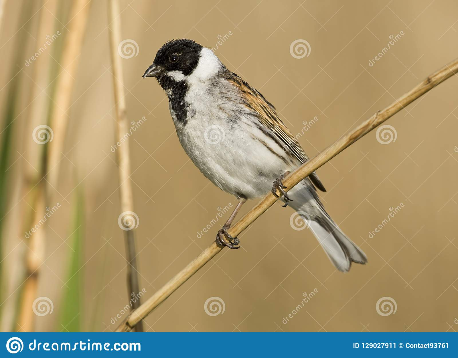 Rietgors, Reed Bunting comum, schoeniclus do Emberiza