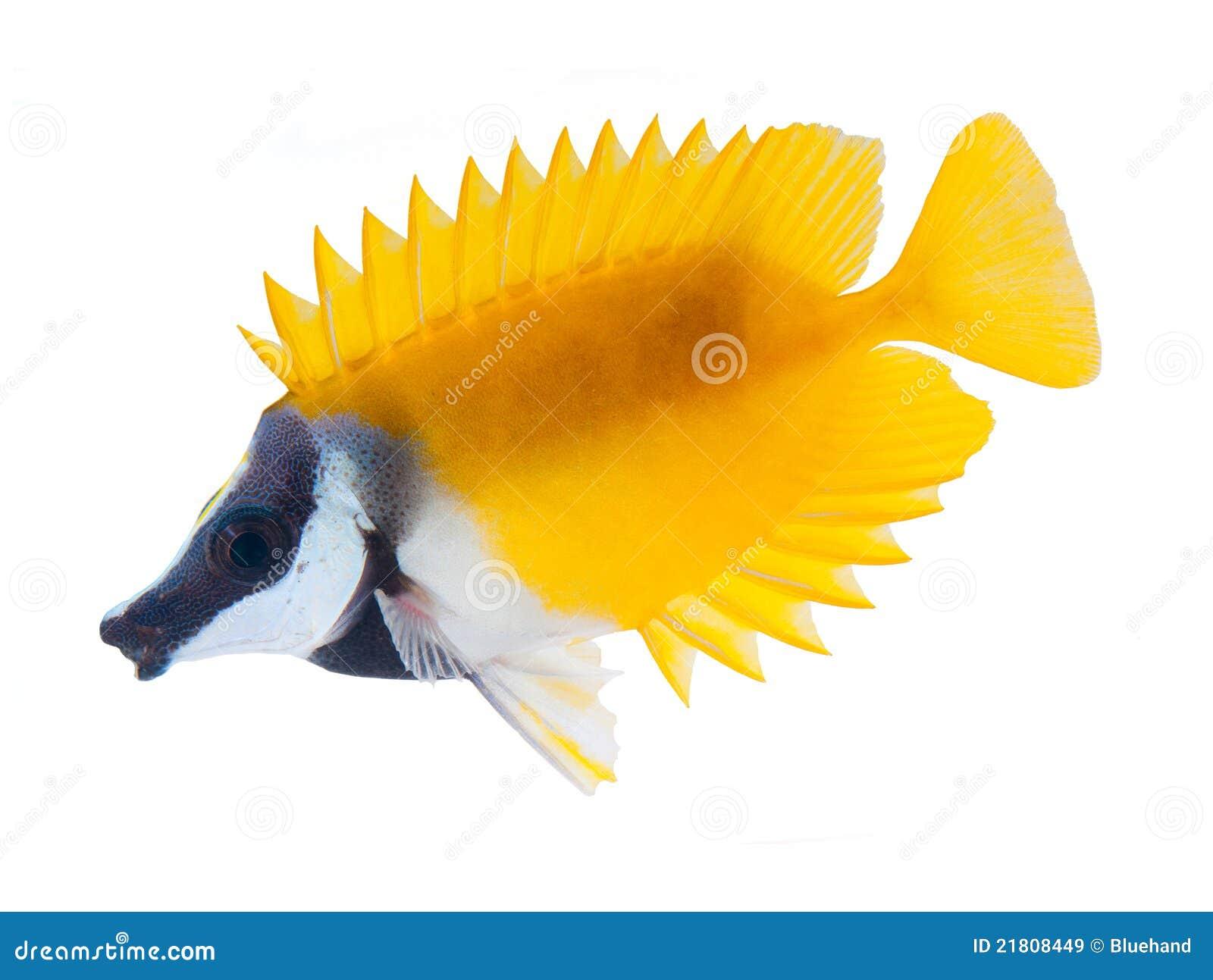 Rifffische, foxface tabbitfish, getrennt auf weißem b