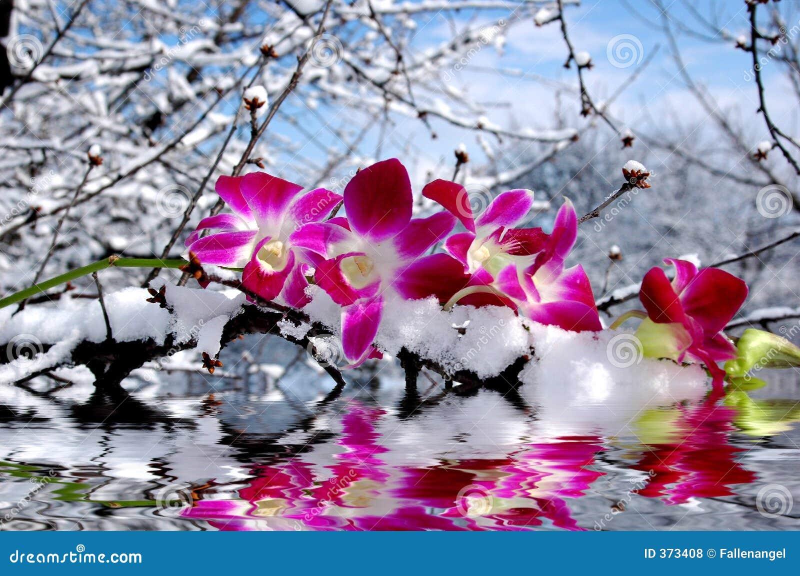 Riflessione dell 39 acqua e dell 39 orchidea fotografie stock for Orchidea acqua