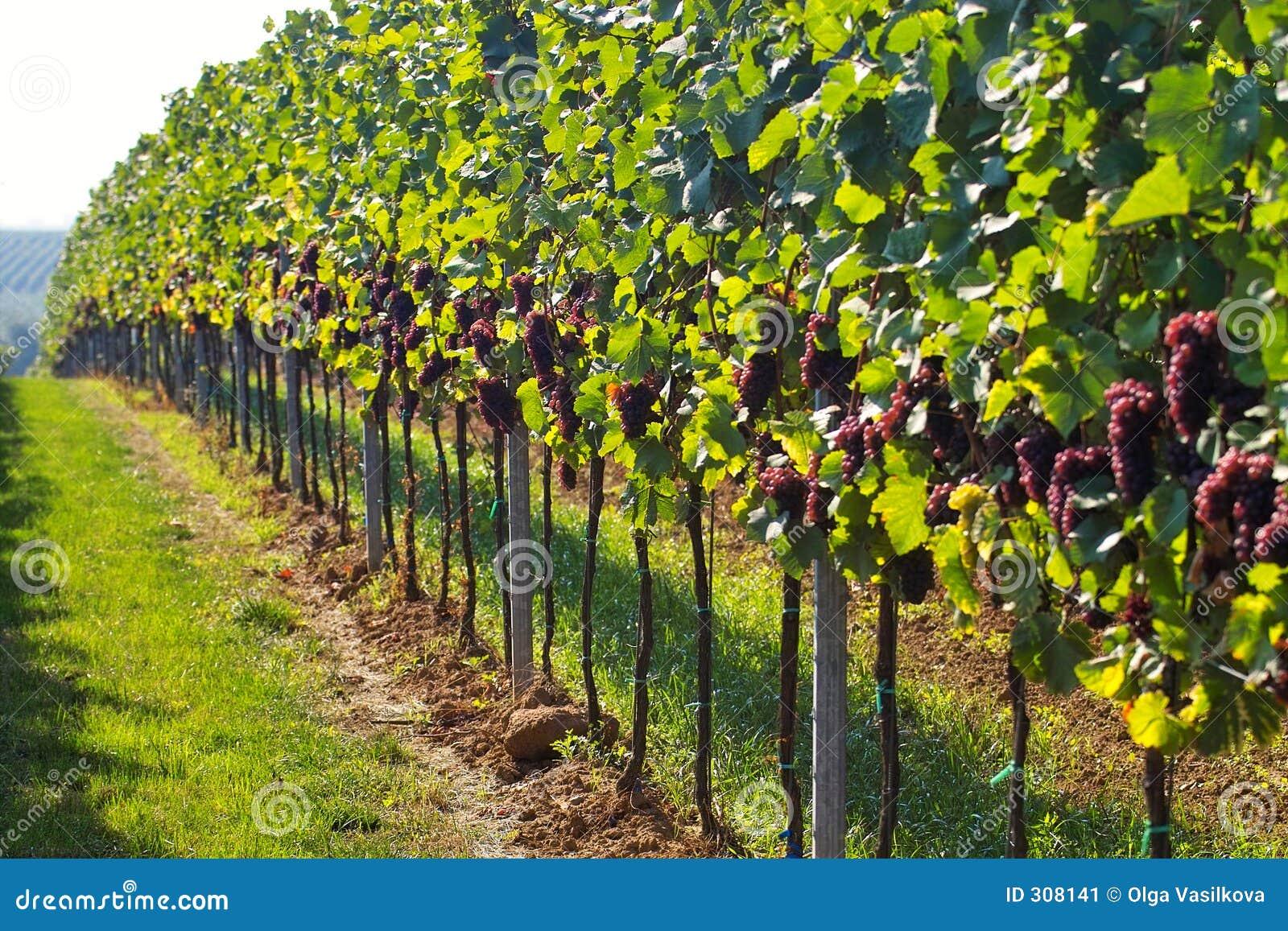 Righe degli acini d uva
