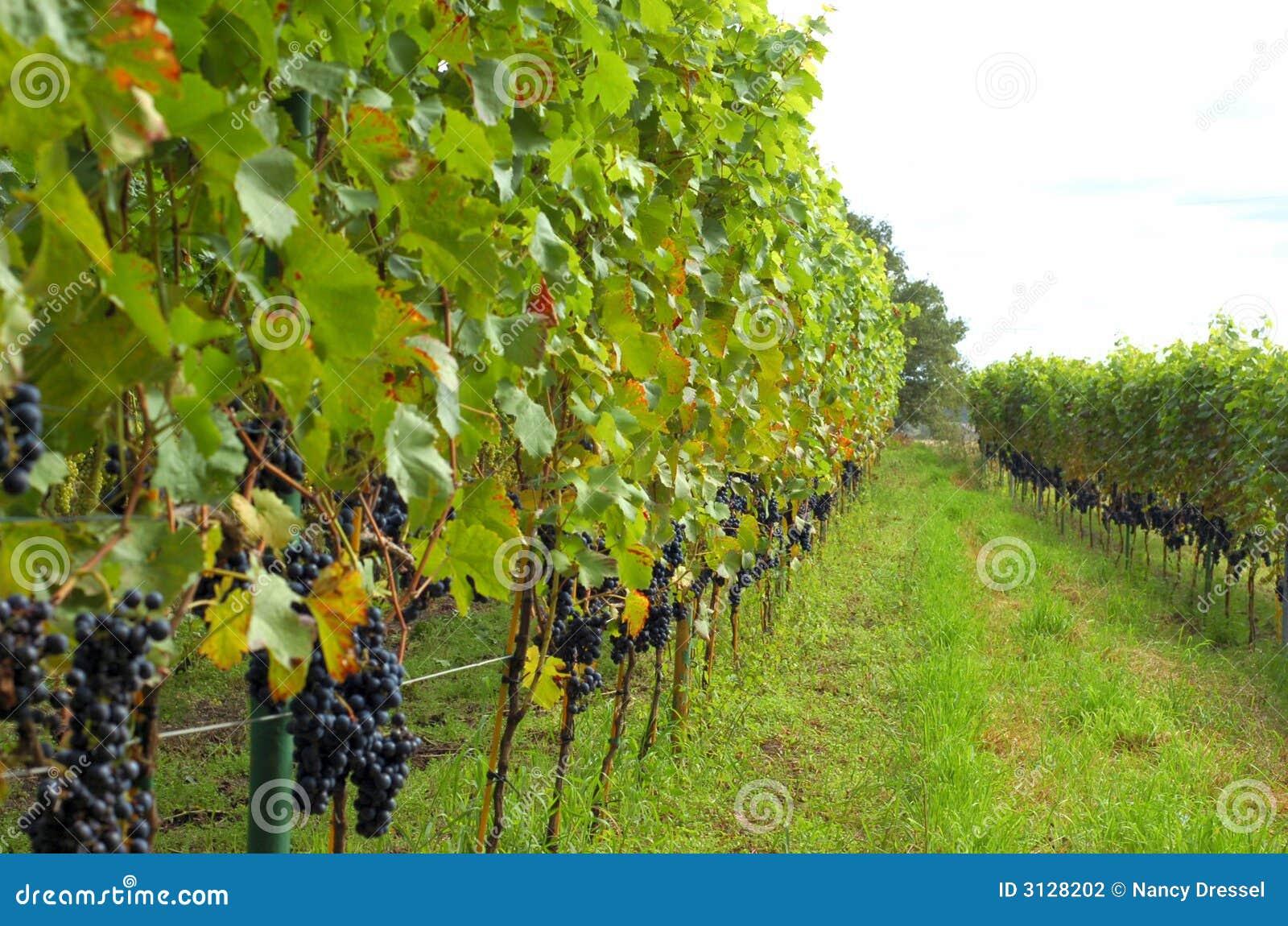 Righe dell uva del vino rosso
