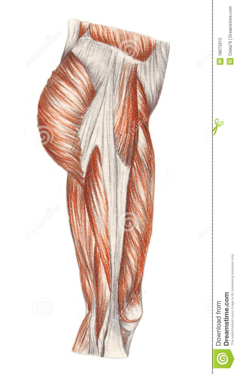 Right Leg Muscles Stock Illustration Illustration Of Muscle
