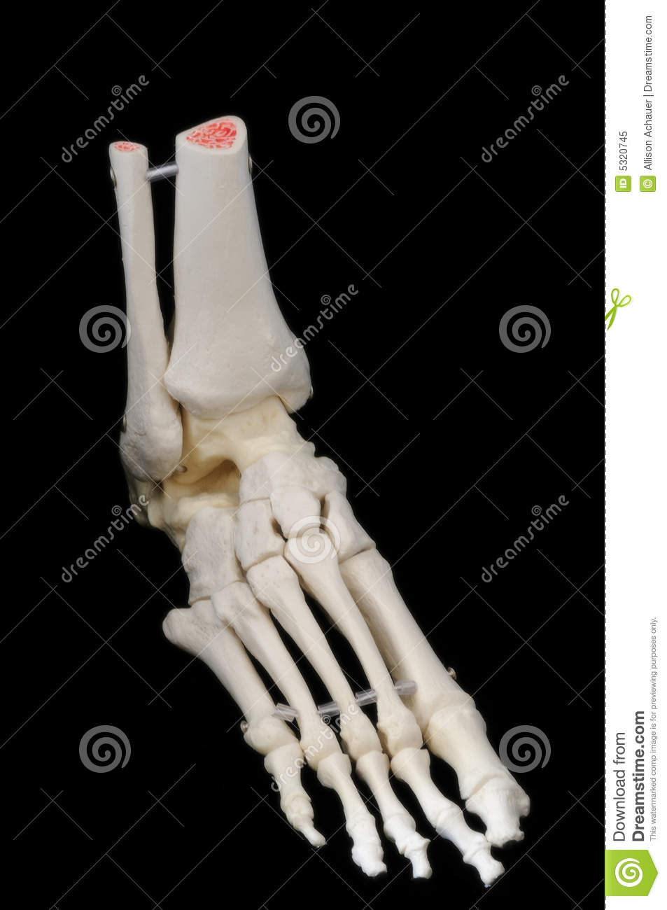Right side front view of foot skeleton