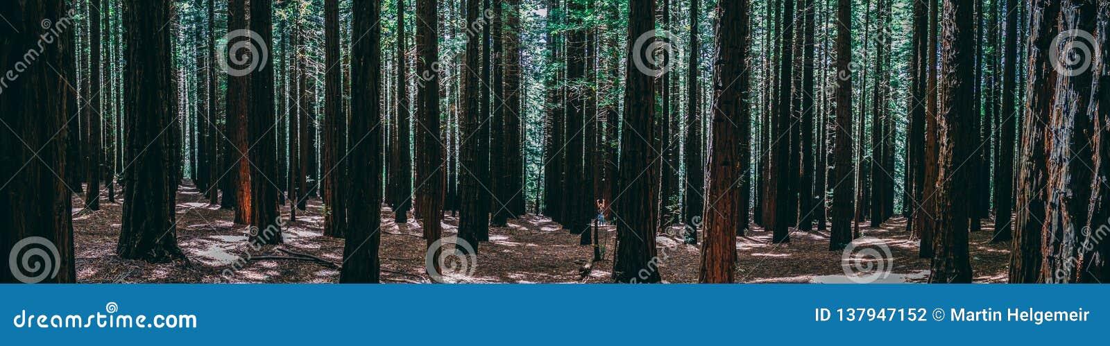 Rijen van bomen bij de Californische sequoia Forest Warburton in de Yarra-Vallei Melbourne, Australië