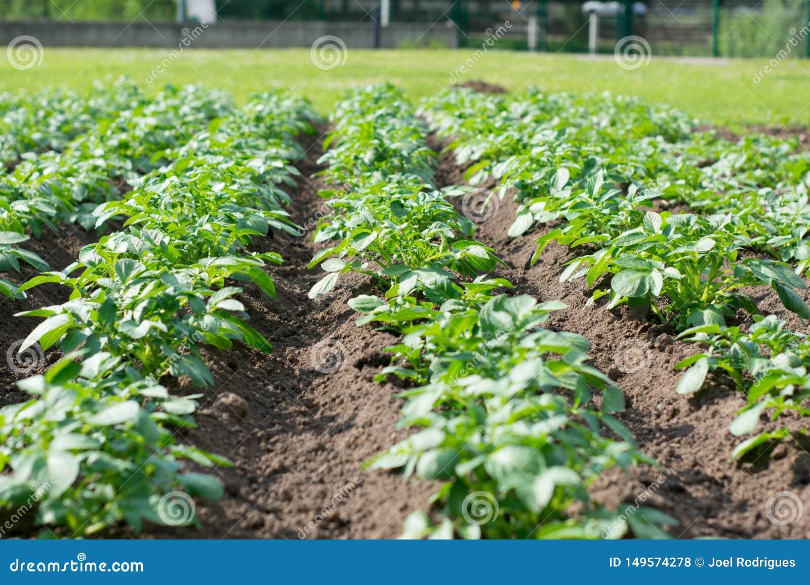 Rijen van groene doorbladerde groente op een gebied