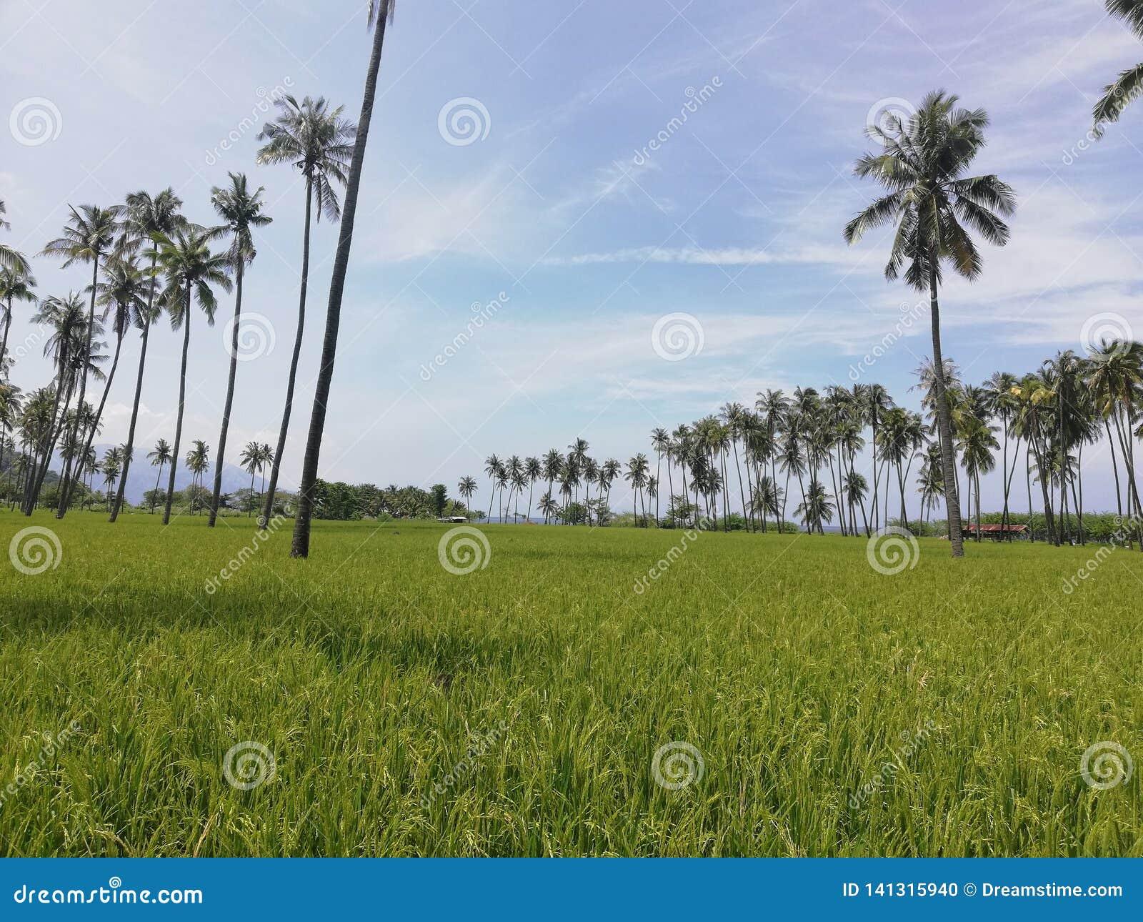 Rijen van kokospalmen in een padieveld