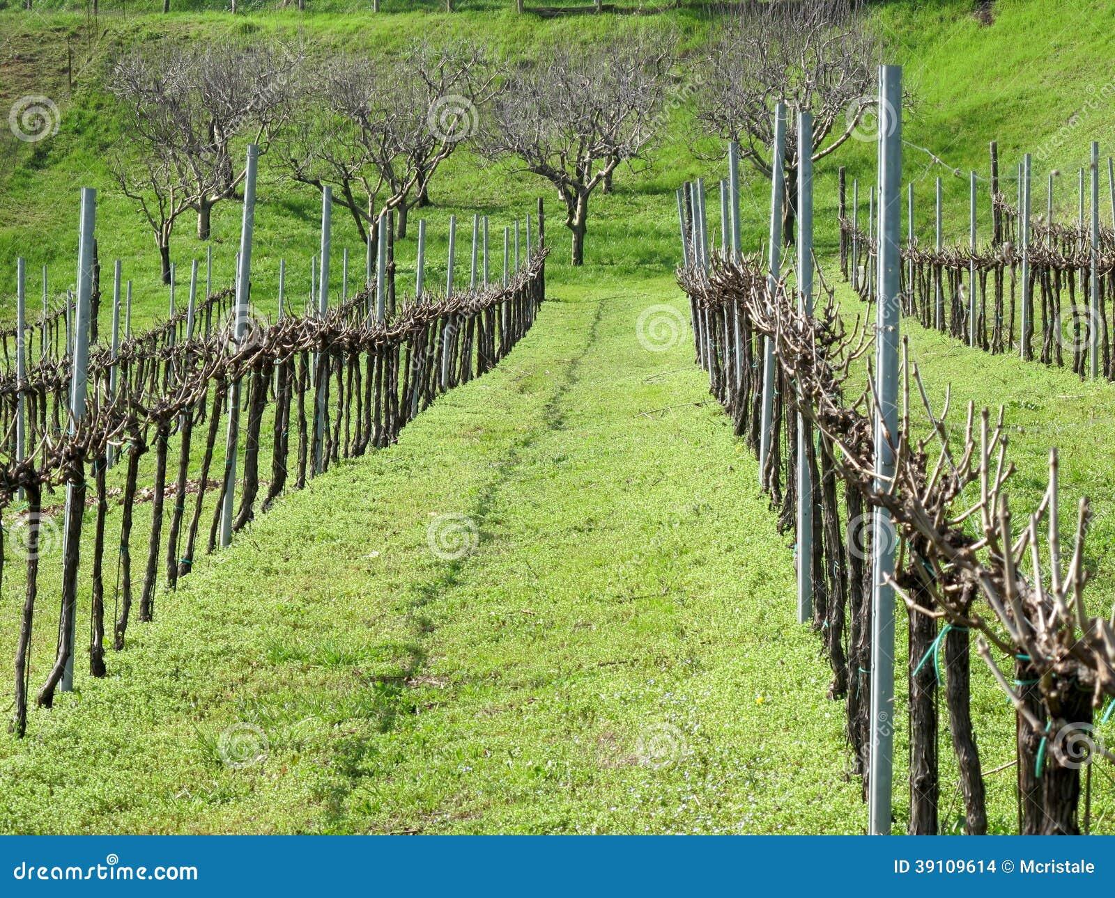 Rijen van wijnstokken