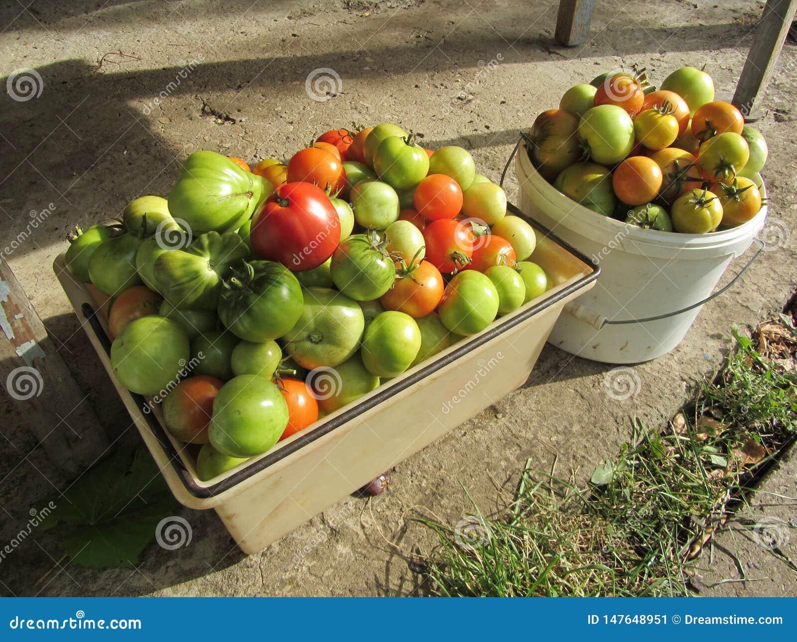 Rijke oogst van tomaten met uw eigen handen
