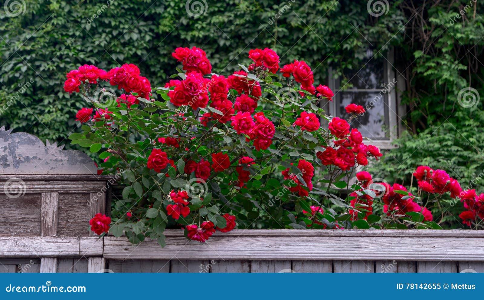 Rijke rode rozen over houten omheining voor oud die huis met wilde druif wordt behandeld